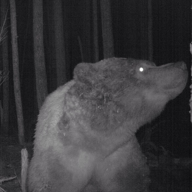 grizzly bear on a black and white close up profile caught on a trail cam set up by Raincoast research on Heiltsuk Territory