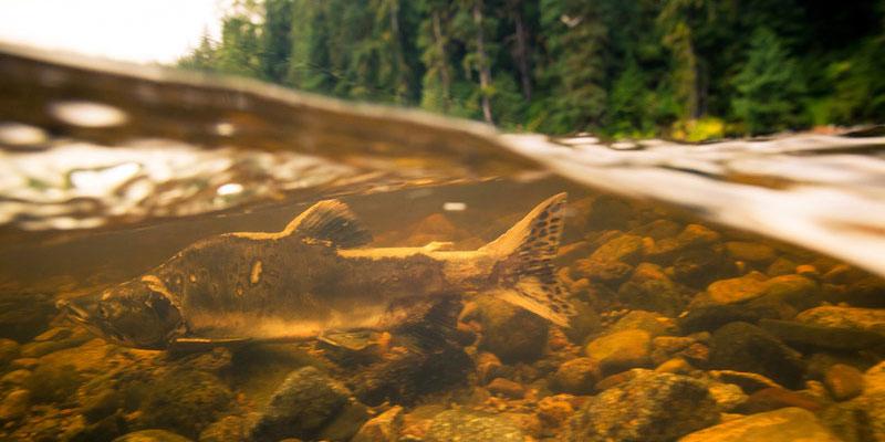 Underwater Salmon by Jeremy Koreski