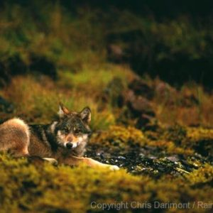 Coastal Wolf lounging in sunlight