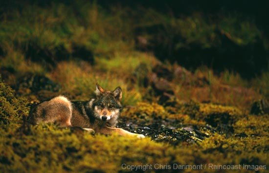 Chris Darimont – Coastal Wolf