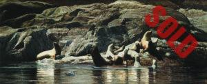 A cluster of sea lions lies on the rocks and in the waters in coastal BC