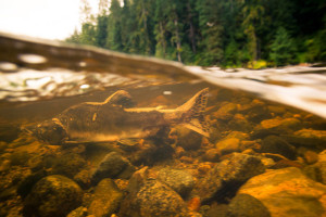 A spawning salmon swims from right to left underwater in a stream with the forest in the background.