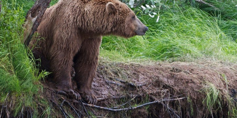 A grizzly bear stands on a river bank in Alaska looking for salmon