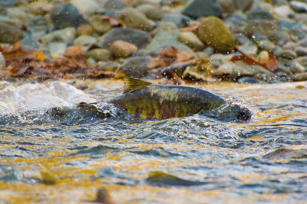 Salmon swimming in the shallow waters