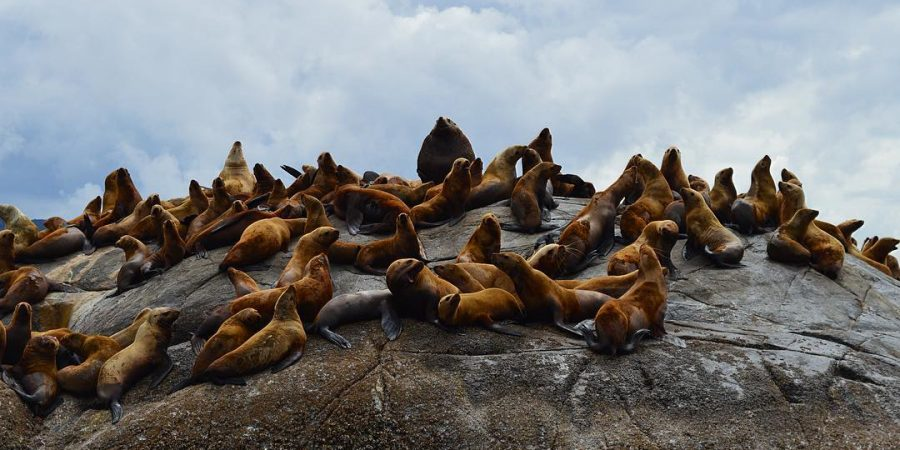 A draft of sea lions sit atop a large rocky outcropping at low tide.