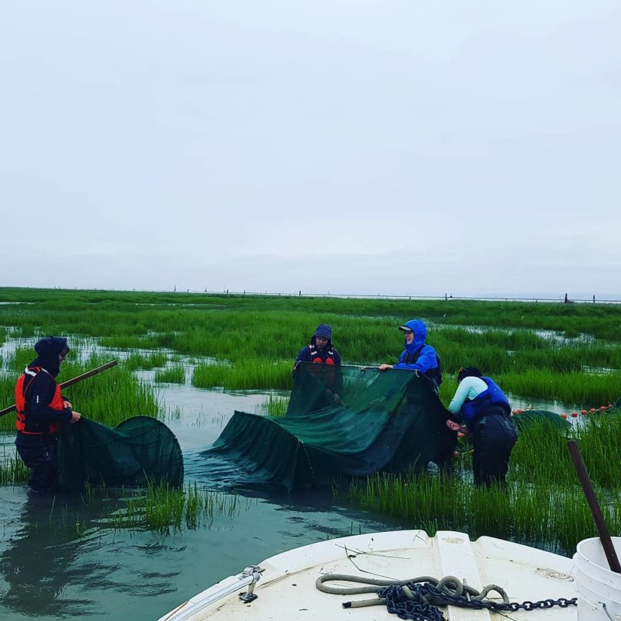David Scott and the team pull a fyke net in the Fraser River estuary.