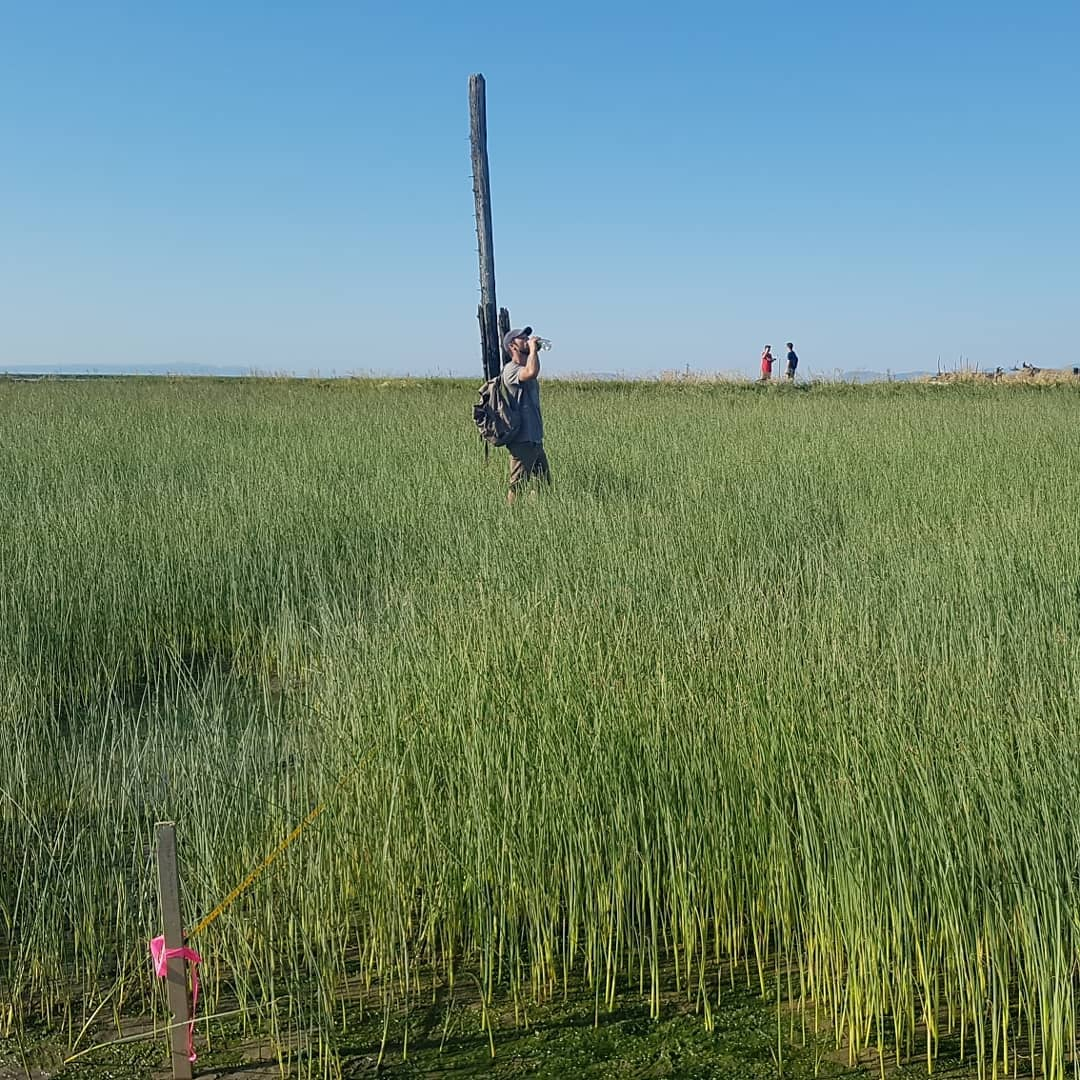 This is a photo of a man standing amid tall reeds in a marsh he is in the distance, and drinking from a water bottle. There is also a tall dead tree behind him and slightly left of center.