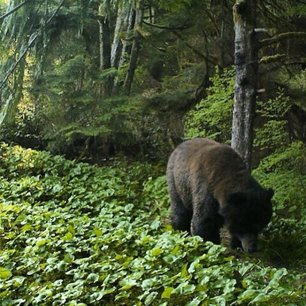 Wanukv river grizzly