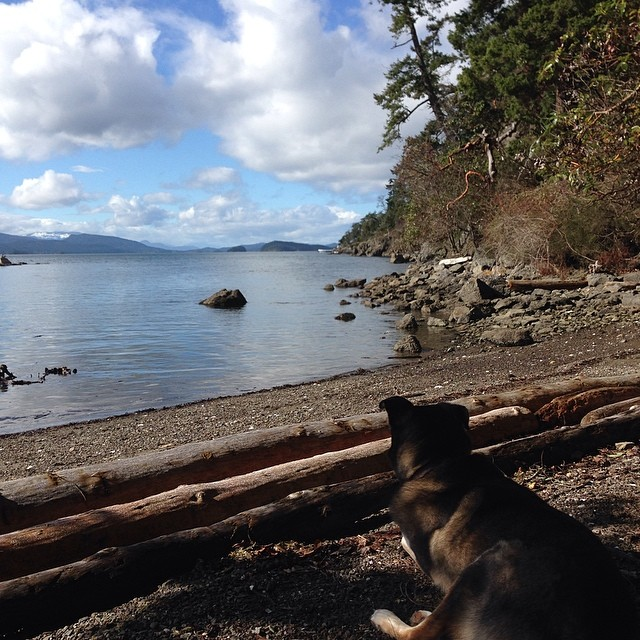 Medium size black dog looking at a view of Salish Sea from behind a pile of logs on an island beach.