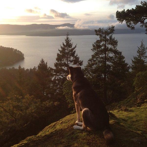 Atticus the Raincoast dog