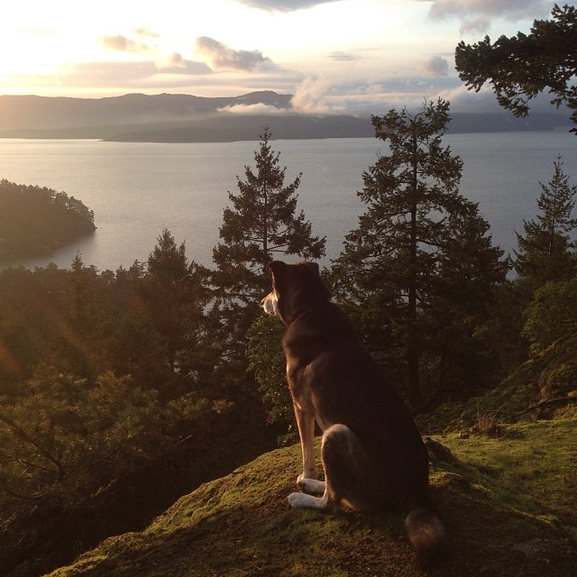 Atticus the Raincoast dog gazes out into the water from a hill on a Gulf Island, with a sunset in the background