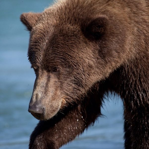 Spread the word on our new article on BC Grizzly Hunt up at Huffington Post