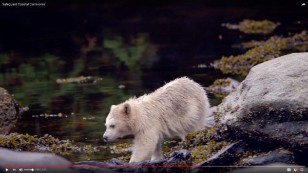 Securing the Nadeea tenure to stop commercial trophy hunting in the Great Bear Rainforest