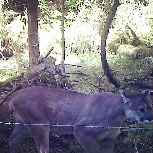 A curious cougar caught on a trail cam set up for bear research on Kitasoo/ Xai'xai territory, barbed wire in the foreground, cougar beside wire