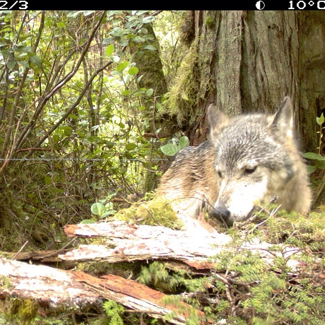 White wolf resting in the forest, captured by camera on a bear research site in Heiltsuk Territory