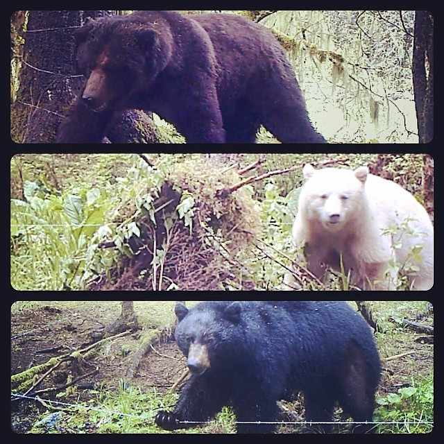 brown bear, spirit bear and a black bear captured on Raincoast cams in Kitasoo/Xai'xai