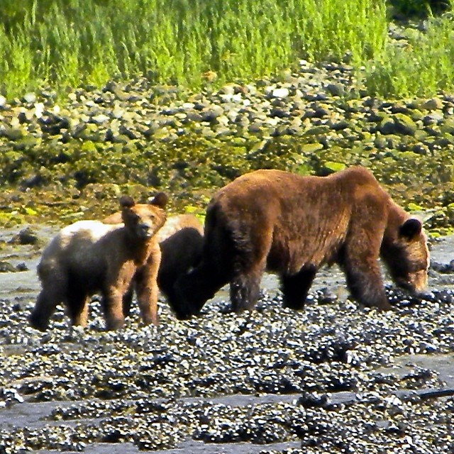 A grizzly bear and two cubs seen on a river bed with tall grass waving in the background
