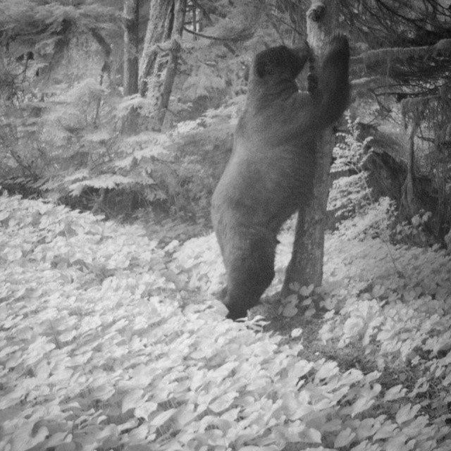 Black and white photo of a grizzly bear on hind legs facing a tree and rubbing its claws on it in the middle of a forest clearing