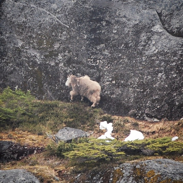 mountain goat stands mid photo beside a steep cliff