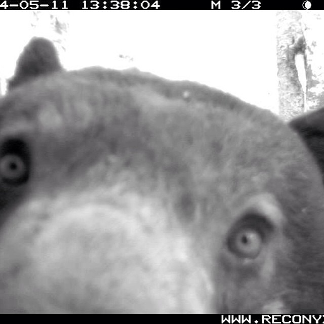 Extreme close up of a grizzly bear captured on a cam set up Raincoast staff