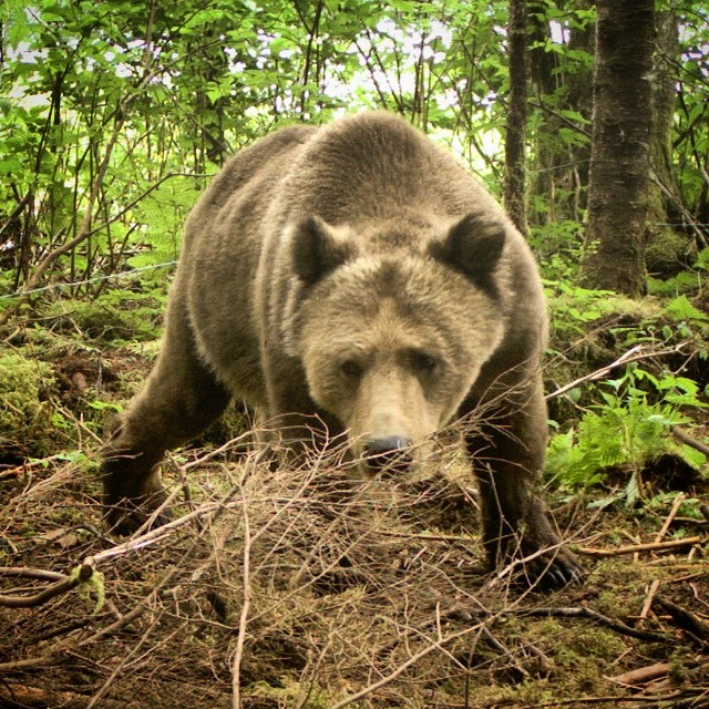 A beautiful big grizzly bear looks head on into the camera, captured on a remote cam left by Raincoast staff