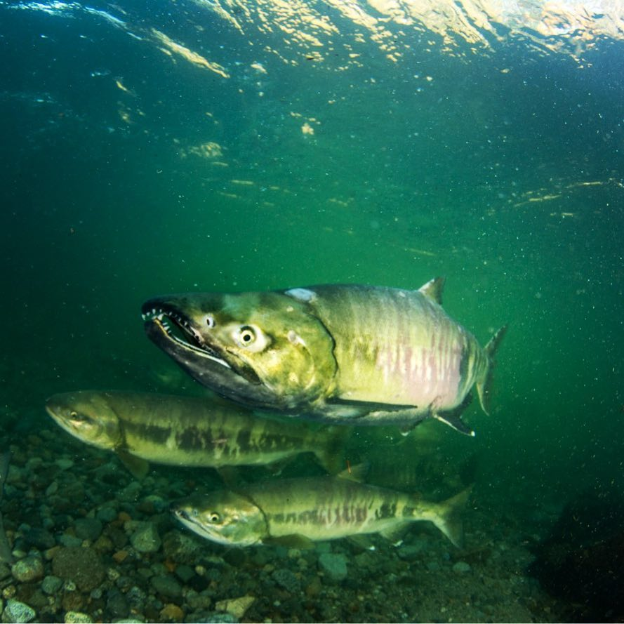 Three big salmon underwater in the Lower Fraser river