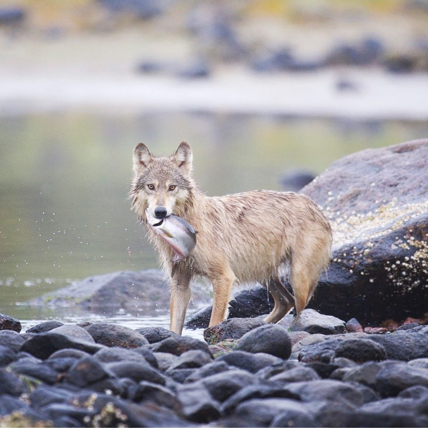 Catch us at Patagonia Vancouver to hear about what we are doing to protect coastal carnivores