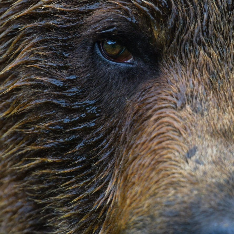 Eye and Part of the face of a brown bear in close-up, as one of the photographs in a wildlife photography exhibit for Raincoast