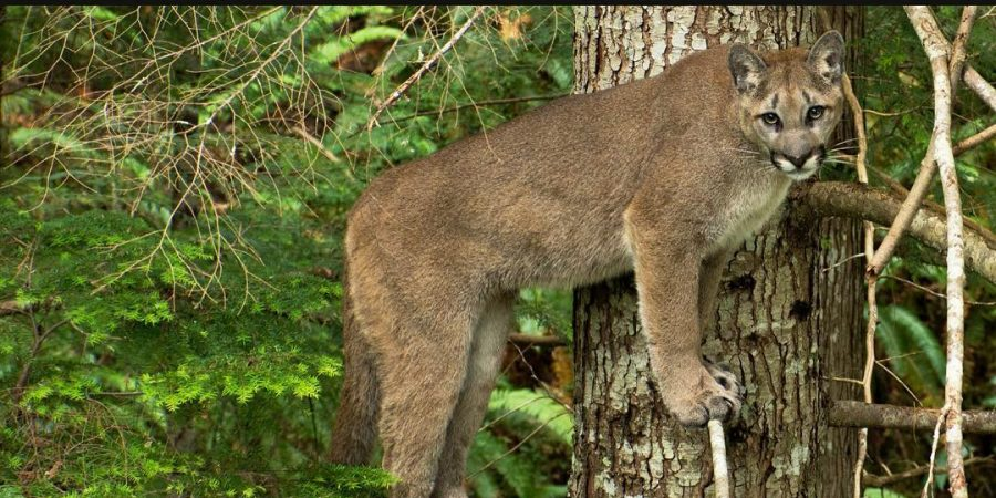 Mountain lion or cougar with its front paws up on a tree stares at camera
