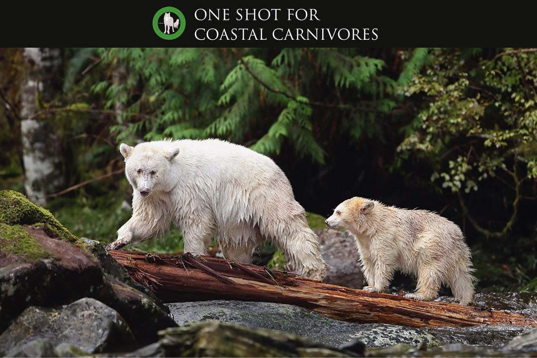 White bear and cub walk along a creek