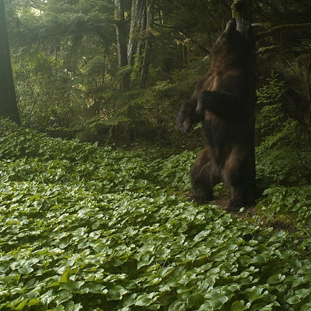 big grizzly bear standing on hind legs rubbing its back on a tree while surrounded by green forest and green groundcover up in Wuikinuxv Territory