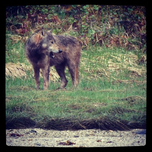 Wolf sighting in Kitasoo/Xai'Xais Territory!