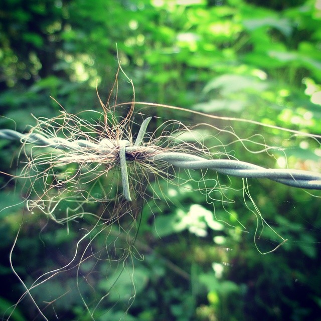 A tangle of bear hair caught in wires against the backfrop of green leaves and forest