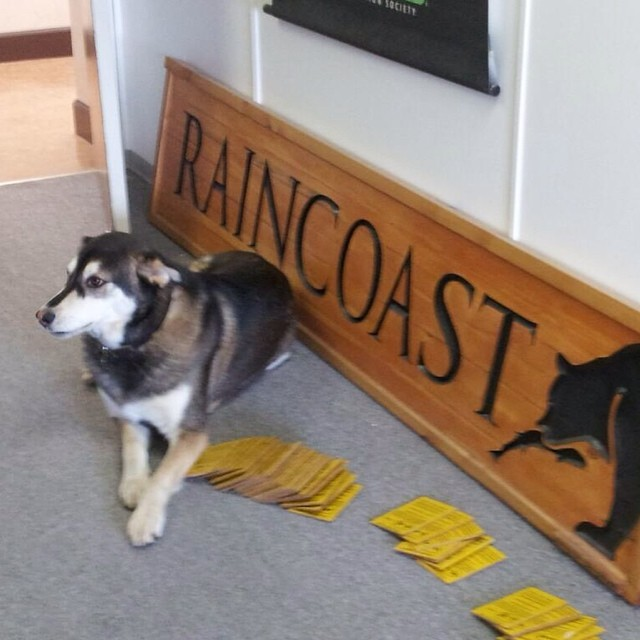 A German Shepherd sits sedately on the ground beside a wooden Raincoast sign and yellow flash cards on the ground of a building corridor