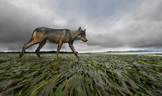 A wolf trots along the eel grass and seaweed lying down in an intertidal zone.