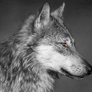 A coastal wolf sits still watching.