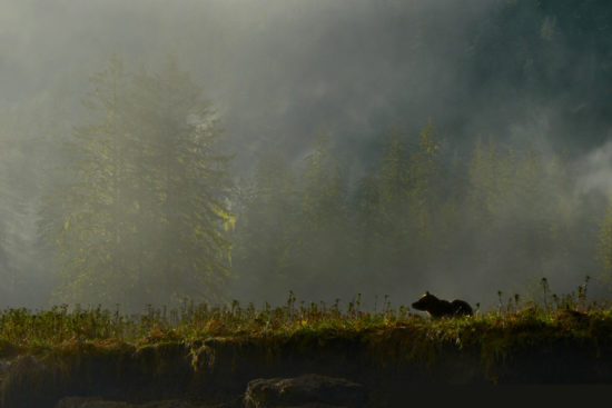 A grizzly bear walks along the bank of a misty mountain and river in the Great Bear Rainforest.
