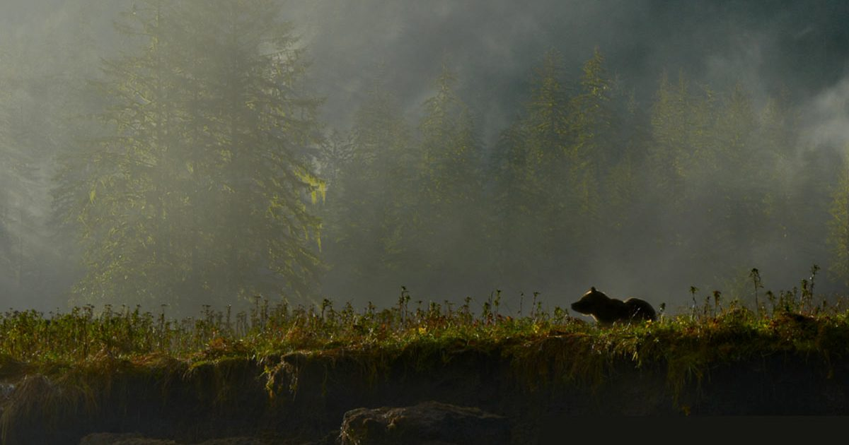The Ethereal Great Bear Rainforest