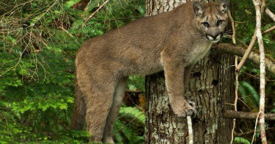 A cougar looks out over the forest majestically.