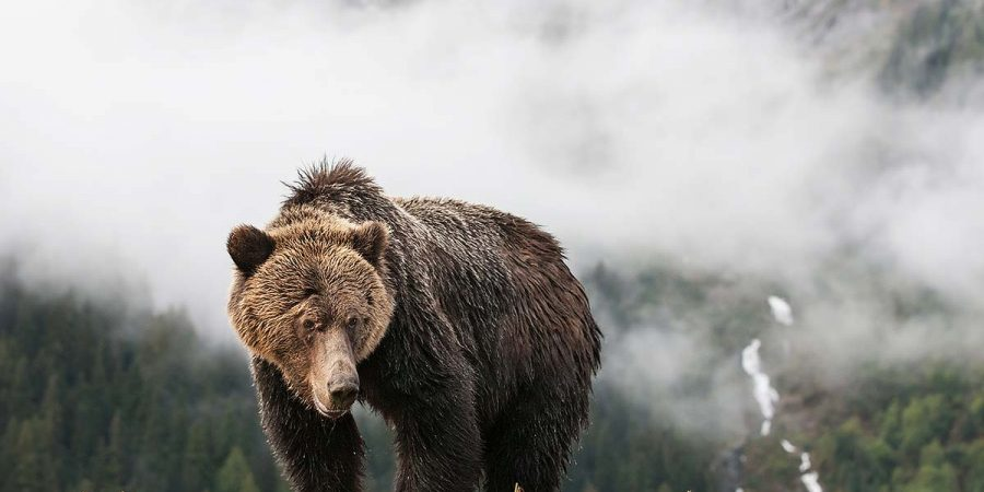 A grizzly stands in the mist of the Great Bear Rainforest.