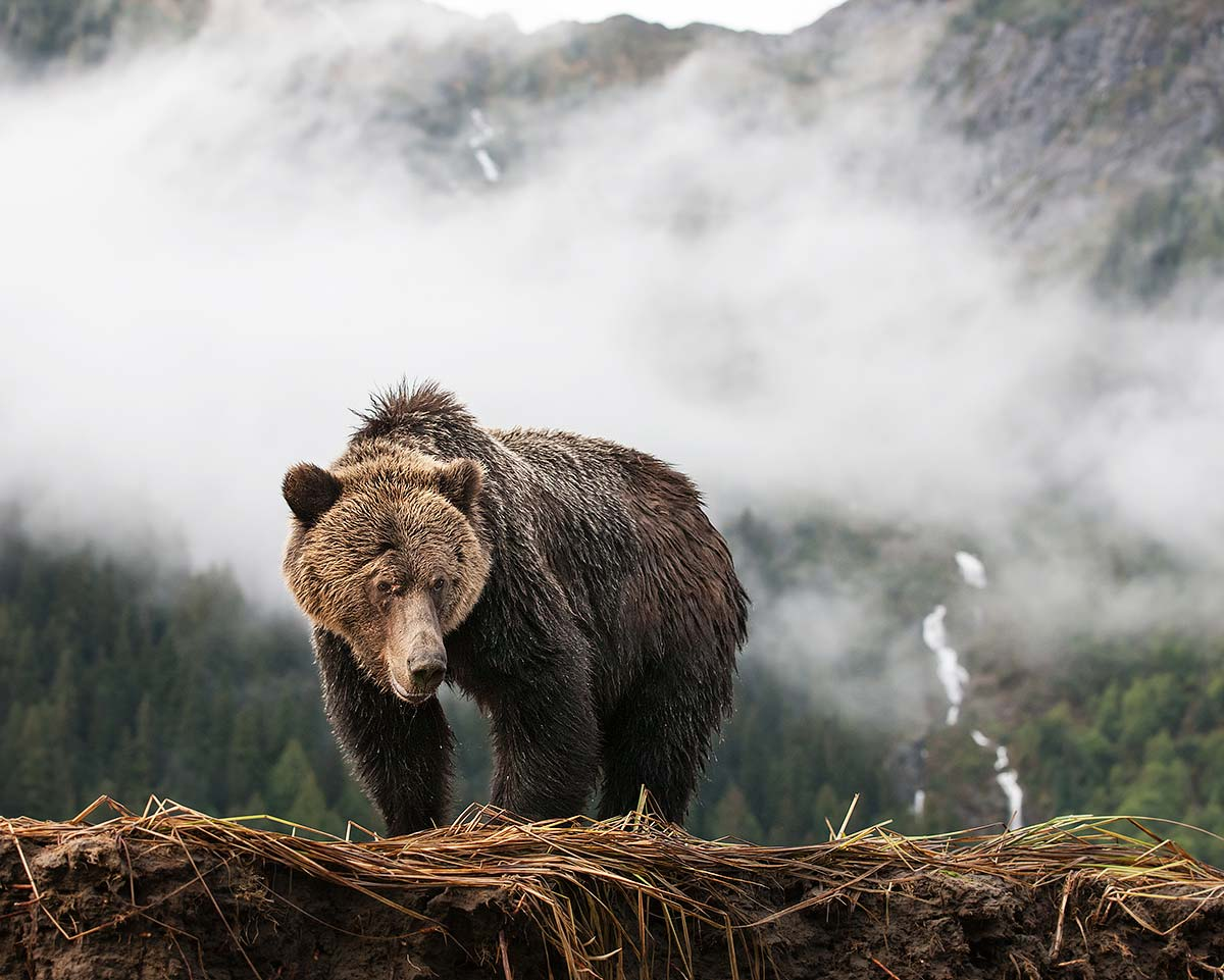 Grizzly in the Mist, framed print