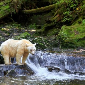 A Spirit bear stands on a creek waterfall in the Great Bear Rainforest.