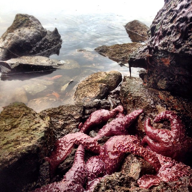 Purple pink sea stars piled on top of each other clinging to rocks in a low tide pool in Heiltsuk Territory