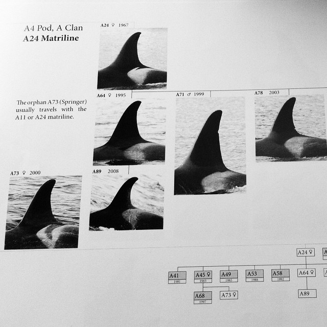 Six images of tail fins of orca whales with differences arranged as a family tree