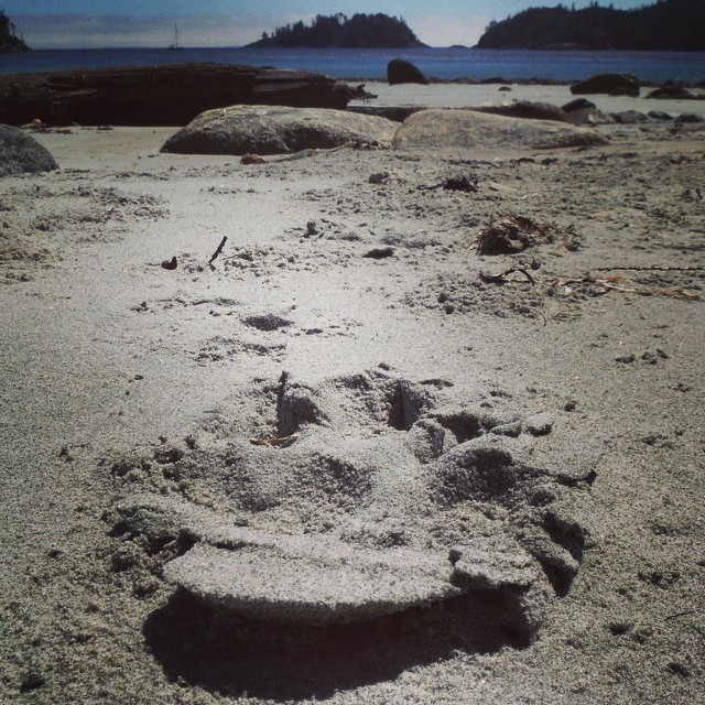 close up of a coastal wolf's tracks on a beach