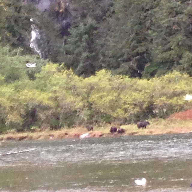 A distant view on the other side of the river of a grizzly mom and her two cubs in the great bear rainforest