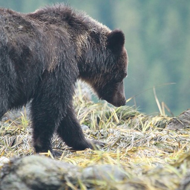 Profil shot of a beautiful brown grizzly bear as it walks on grass in the Great Bear rainforest