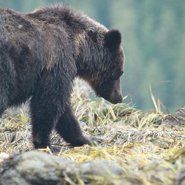 Bear viewing generates ten times more economic activity than bear hunting