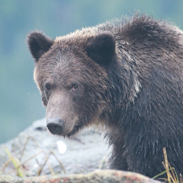 Close up of a beautiful brown grizzly bear in the Great bear rainforest