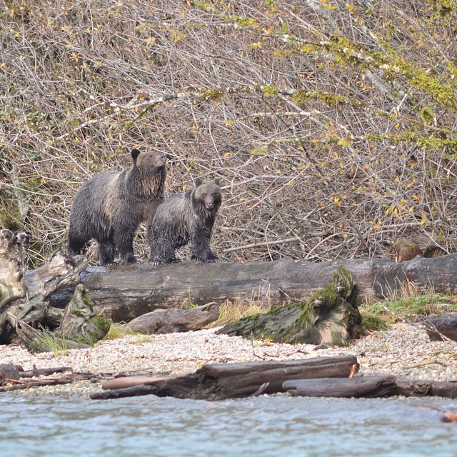 A grizzly and cub watch from the other side of the river as they wait to go fishing in Wuikinuxv